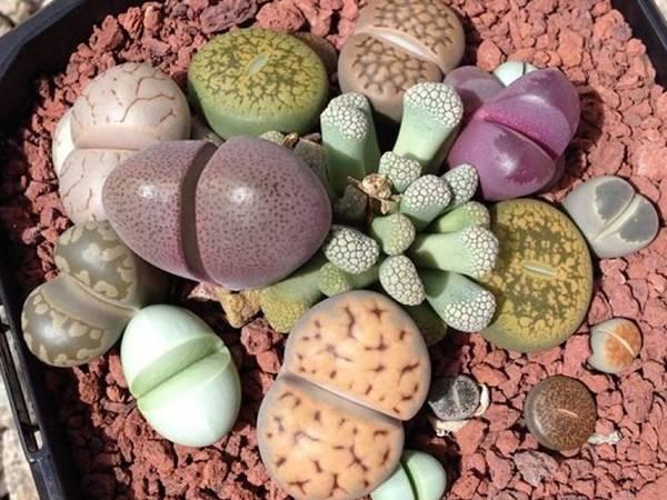 Литопсы: виды, размножение и уход