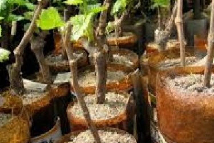 Размножение винограда отводками: способы получения крепких саженцев