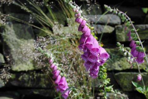 Наперстянка – цветок с лечебными свойствами