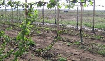 Выращивание и уход за ежевикой весной в домашних условиях