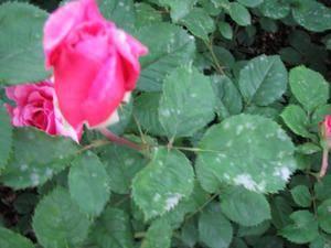 Мучнистая роса на розе — меры борьбы и профилактики