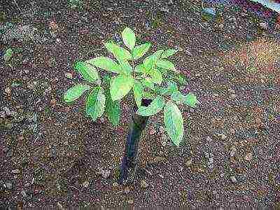Как посадить саженец грецкого ореха осенью