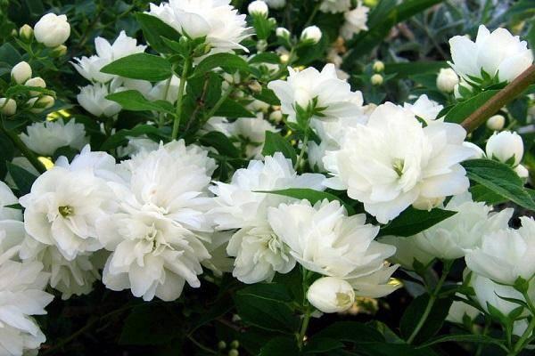 Кустарник жасмин – уход и выращивание в саду