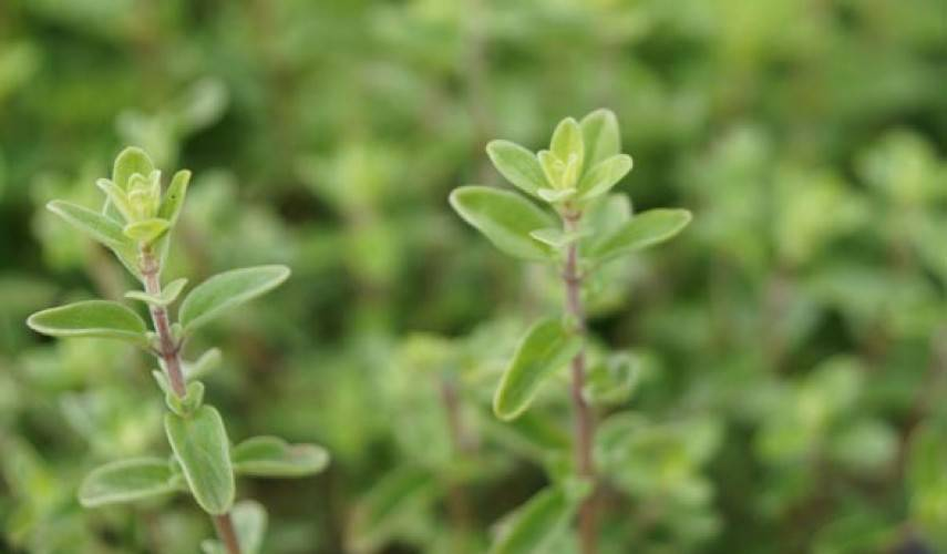 Растение майоран: выращивание из семян, фото, посадка и уход в открытом грунте