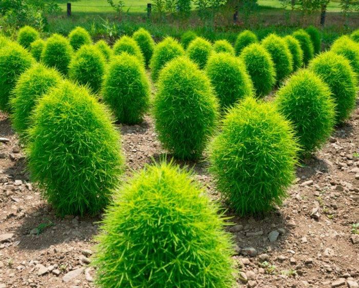 15 быстрорастущих декоративных кустарников, которые преобразят участок