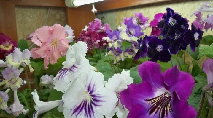 Выращивание стрептокарпуса из семян в домашних условиях с пошаговыми фото