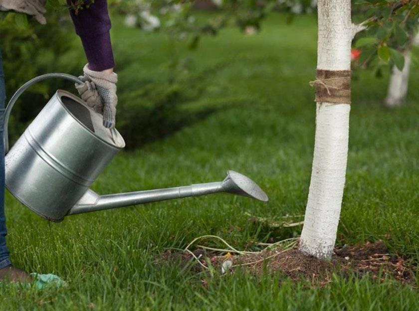 Правила подкормки вишни для богатого плодоношения