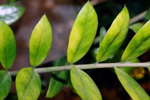 Липкие листья у комнатных растений — причины и борьба