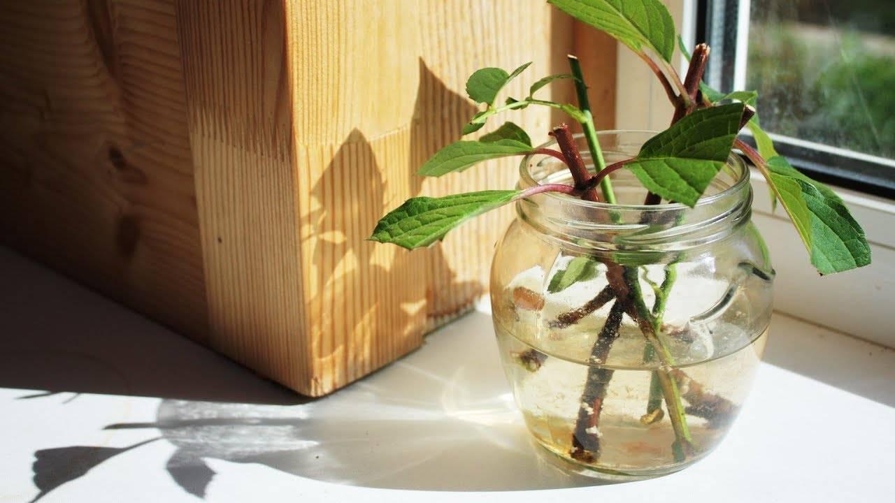 Гардения: как вырастить и добиться цветения красавицы со строптивым нравом