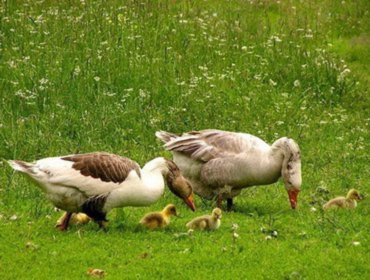 Как правильно содержать гусей в зимний период?