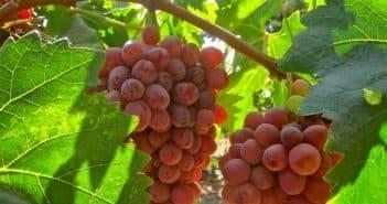 Особенности выращивания винограда на урале