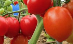 Крупный томат Мишка косолапый на дачных грядках