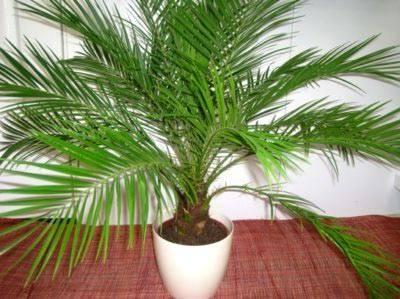 Как посадить и вырастить финиковую пальму из косточки в домашних условиях