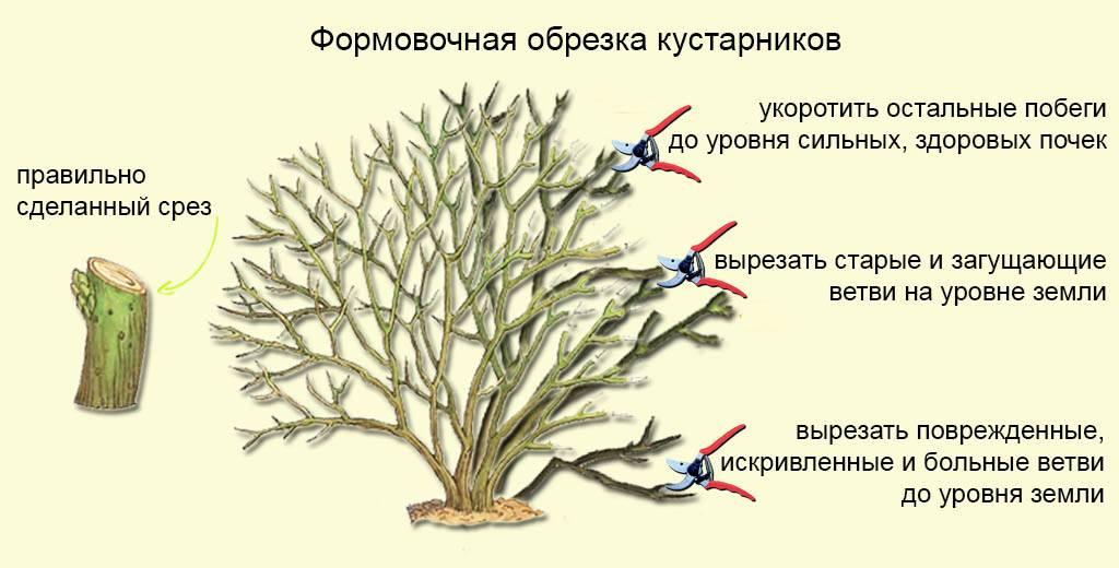 Как омолодить куст спиреи. уход за спиреей и осенняя обрезка кустарника