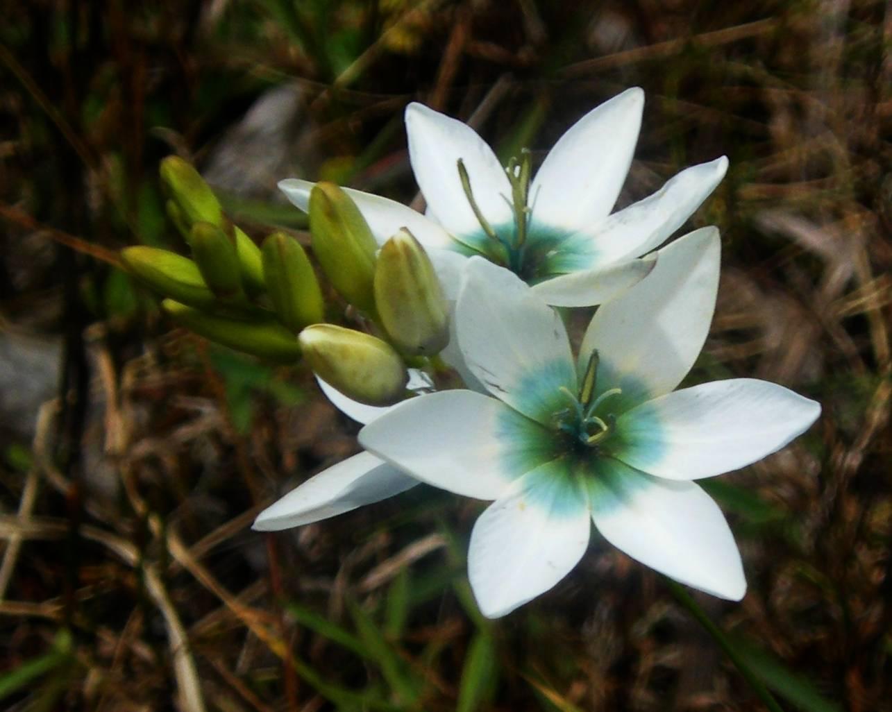 Бессмертник итальянский - пряное растение с запахом карри