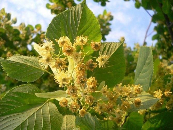 Цветущие деревья и декоративные кустарники для сада