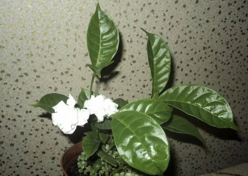 Как выращивать табернемонтану в домашних условиях