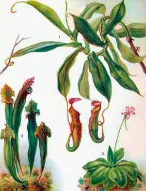 Насекомоядные растения в домашних условиях уход. особенности выращивания хищников в комнатах