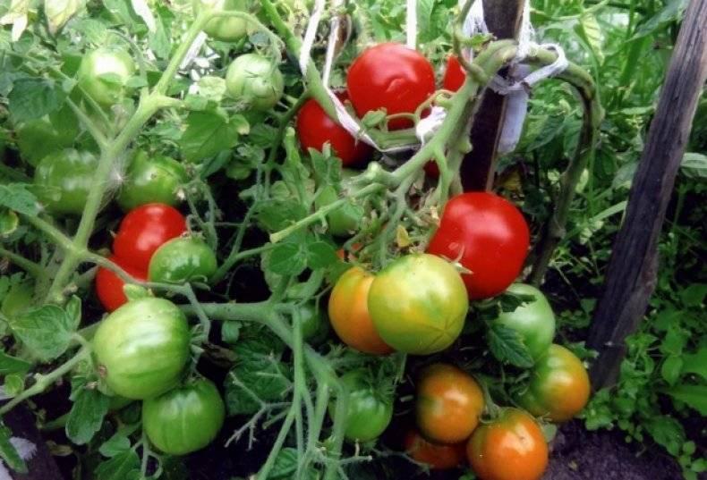 Крупноплодный томат сахарный бизон