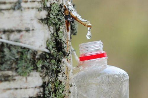 Когда и как собирать березовый сок в 2020 году: сроки и способы сбора