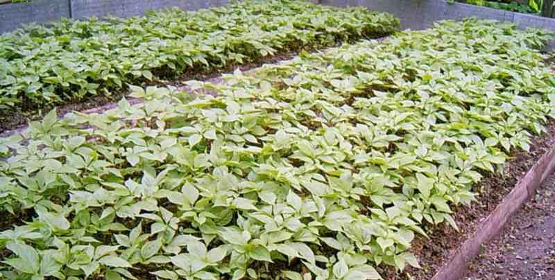 Растение женьшень – выращивание и уход: посадка, размножение. виды женьшеня, целебные свойства