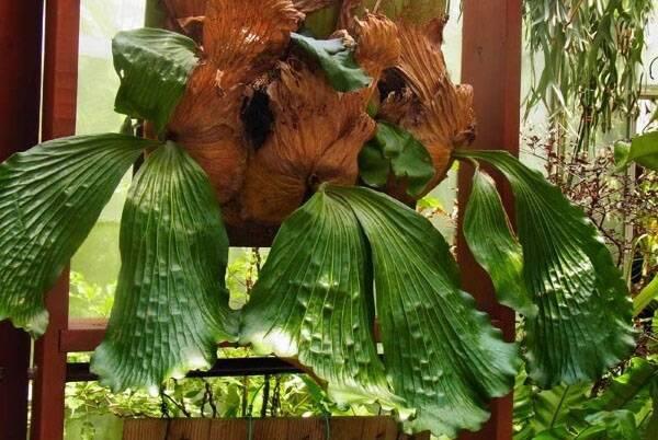Платицериум или плоскорог лосерогий и олений рог, украшение домашнего сада