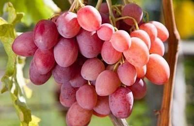 Виноград сорта анюта или любимица крайнова