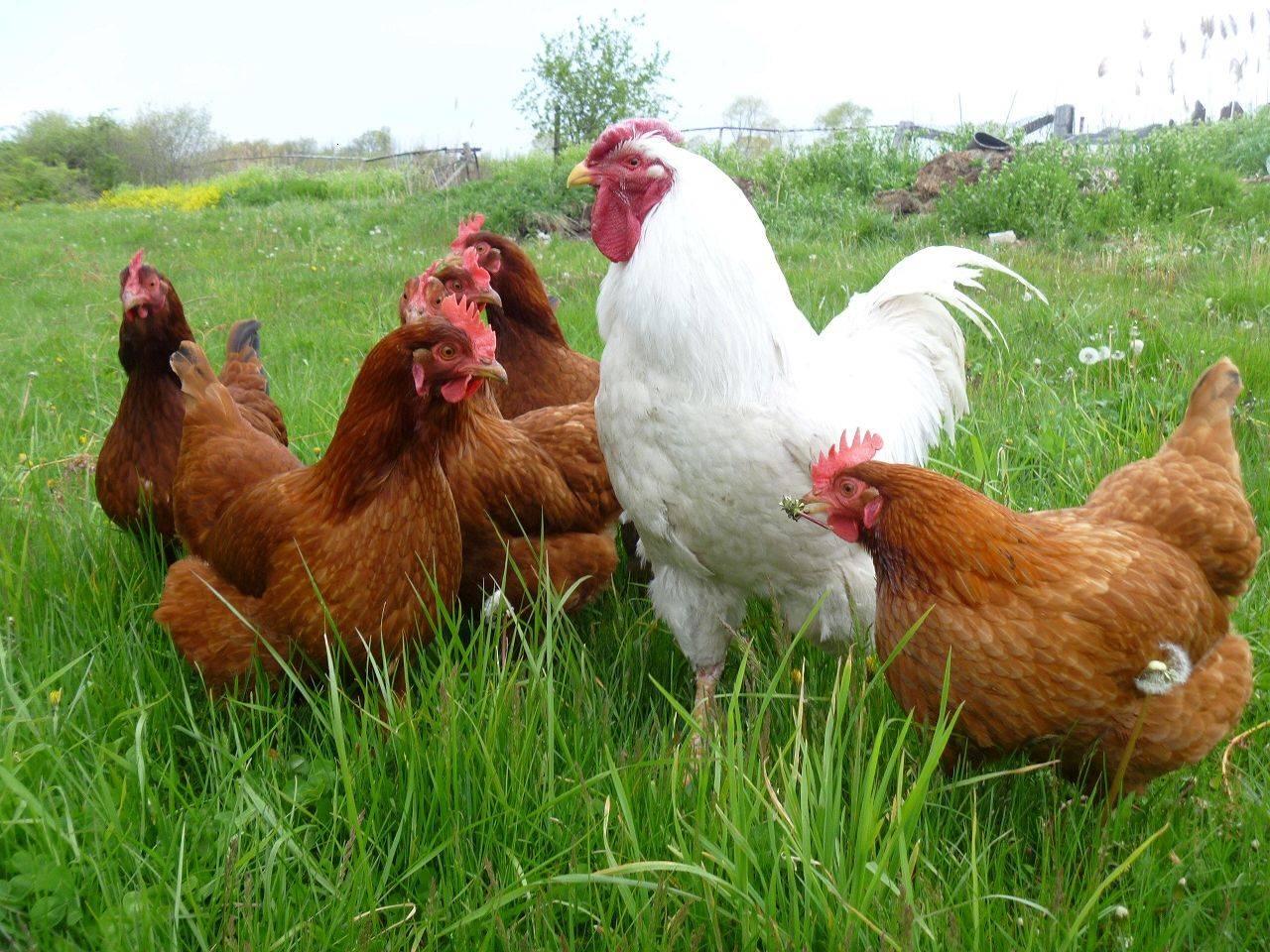 Описание и выращивание кур породы редбро