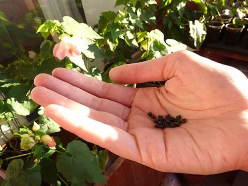 Абутилон: семена, особенности проращивания и посадки, правила ухода и описание с фото