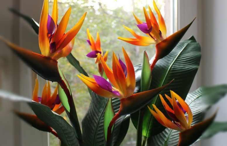 Стрелиция (strelitzia): уход, выращивание и виды на фото