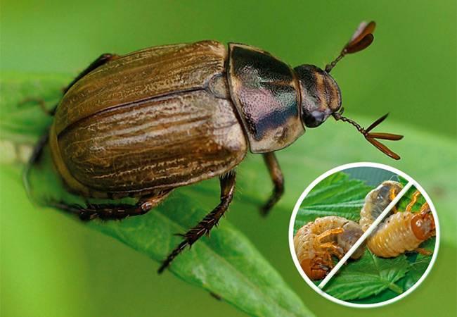 Как выглядит личинка майского жука на фото и по описанию