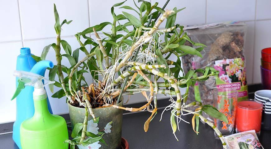 Узнайте, как вырастить деток орхидеи