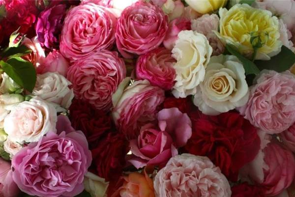 Черенкование роз в домашних условиях – 10 шагов до собственных саженцев