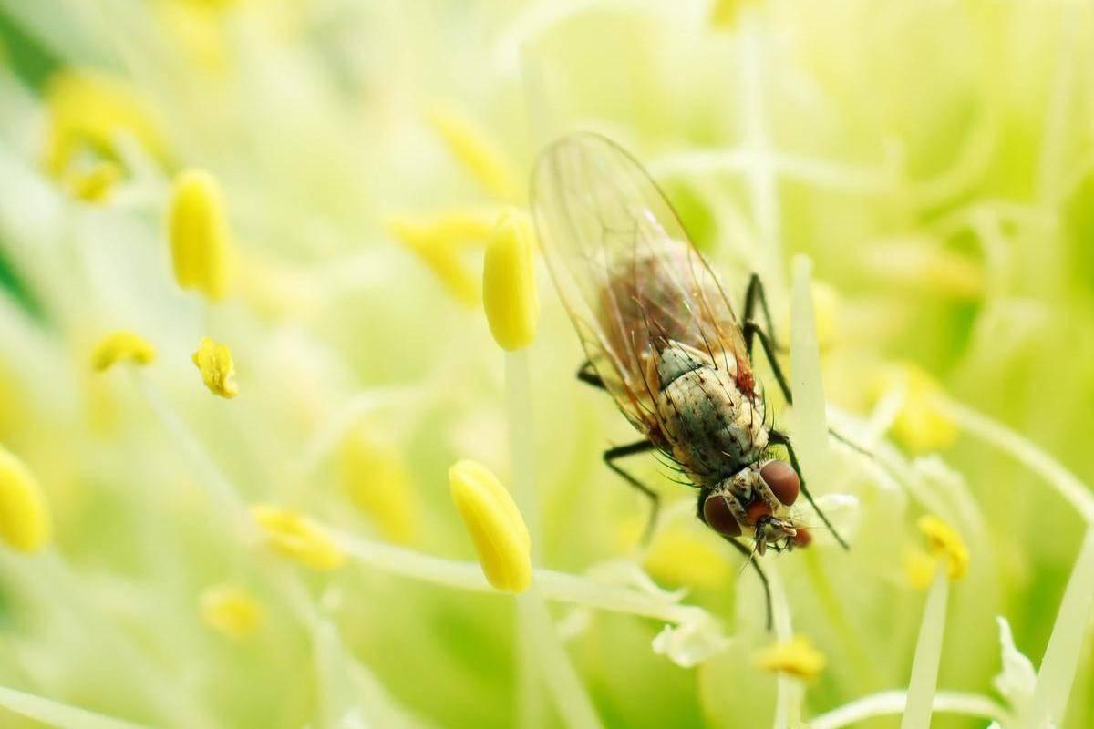 Как бороться с луковой мухой и ее личинками
