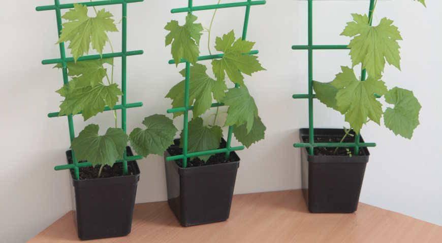 Момордика: полезные свойства и выращивание