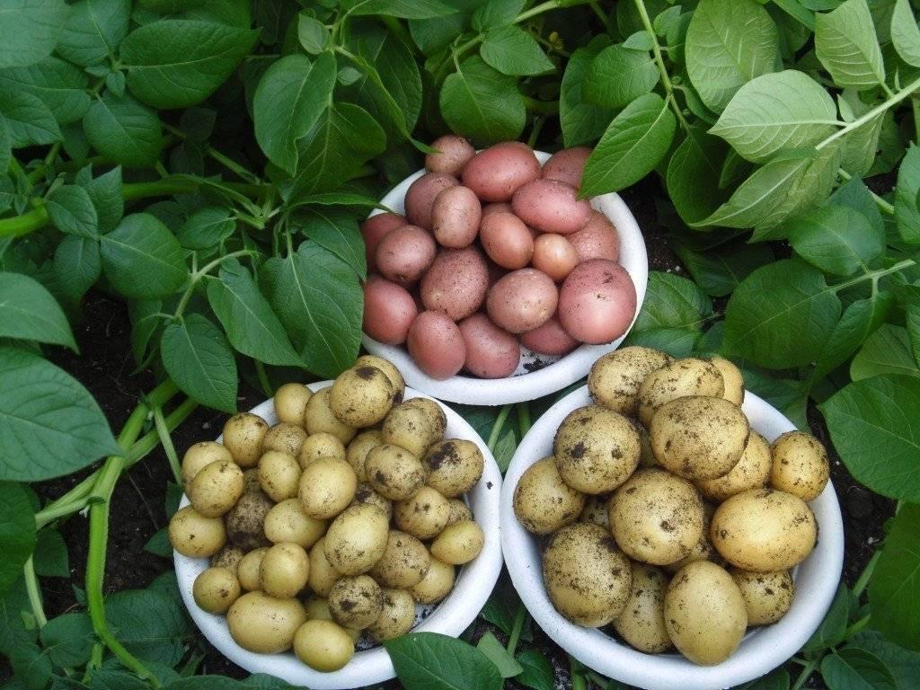 Лучшие ранние сорта картофеля