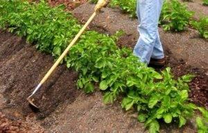 Правильно окучиваем картофель — советы опытных огородников