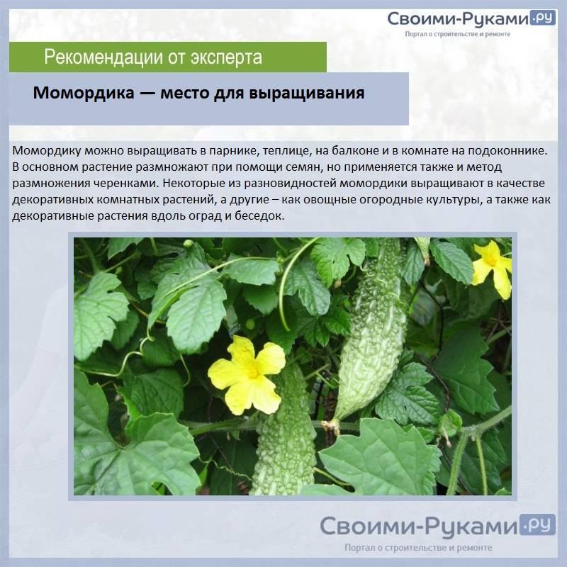 Момордика – выращивание из семян своими руками