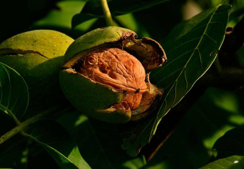 Высаживание однолетнего саженца грецкого ореха