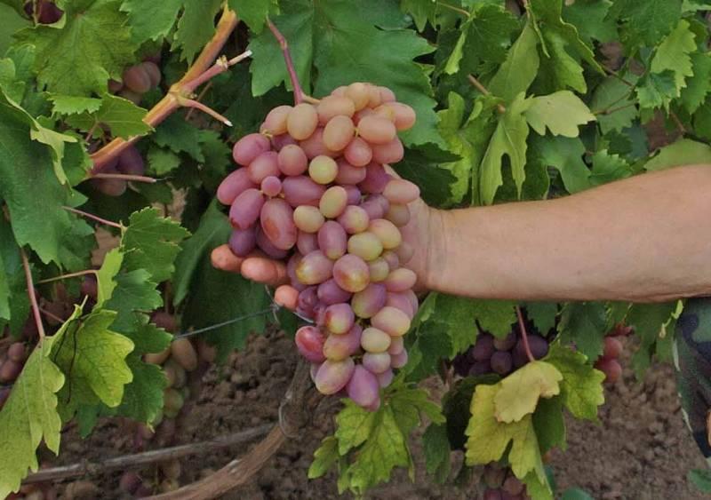 Как укрывать виноград на зиму — готовим виноградник к зимовке