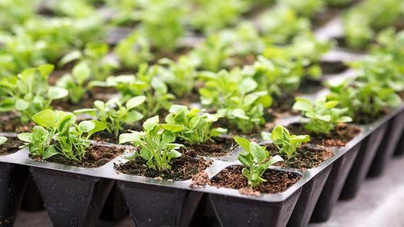 Как вырастить лобелию ампельную из семян в домашних условиях