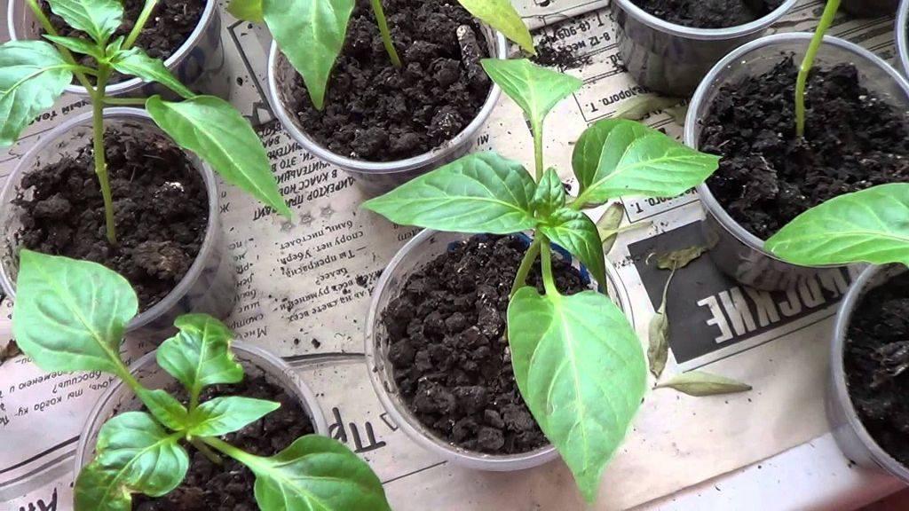 Как вырастить горький перец в открытом грунте: посадка и уход