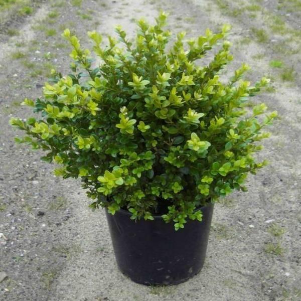 Вечнозеленый долгожитель самшит колхидский
