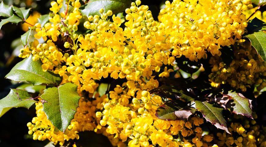 Необычные вечнозеленые растения: падуболистная магония