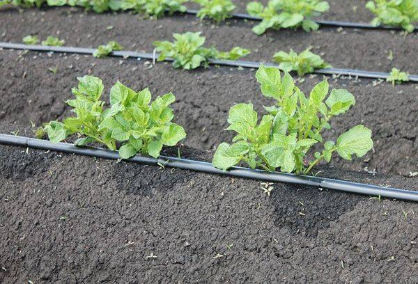Полив картофеля в открытом грунте: сроки, полезные советы