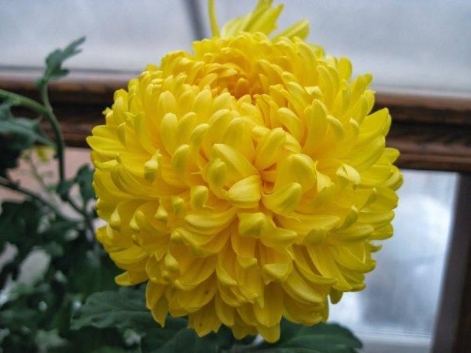 Комнатная хризантема: уход в домашних условиях