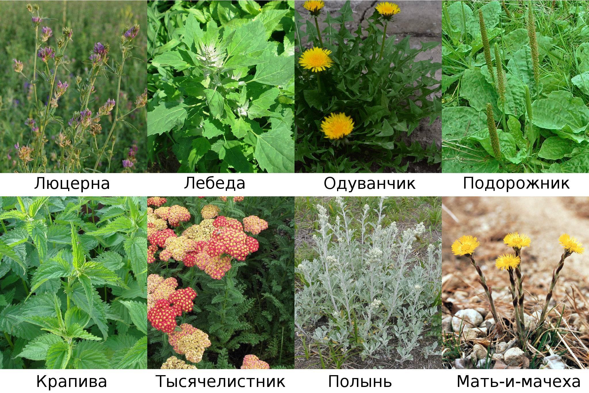 Съедобные цветы – фото, описание, выращивание