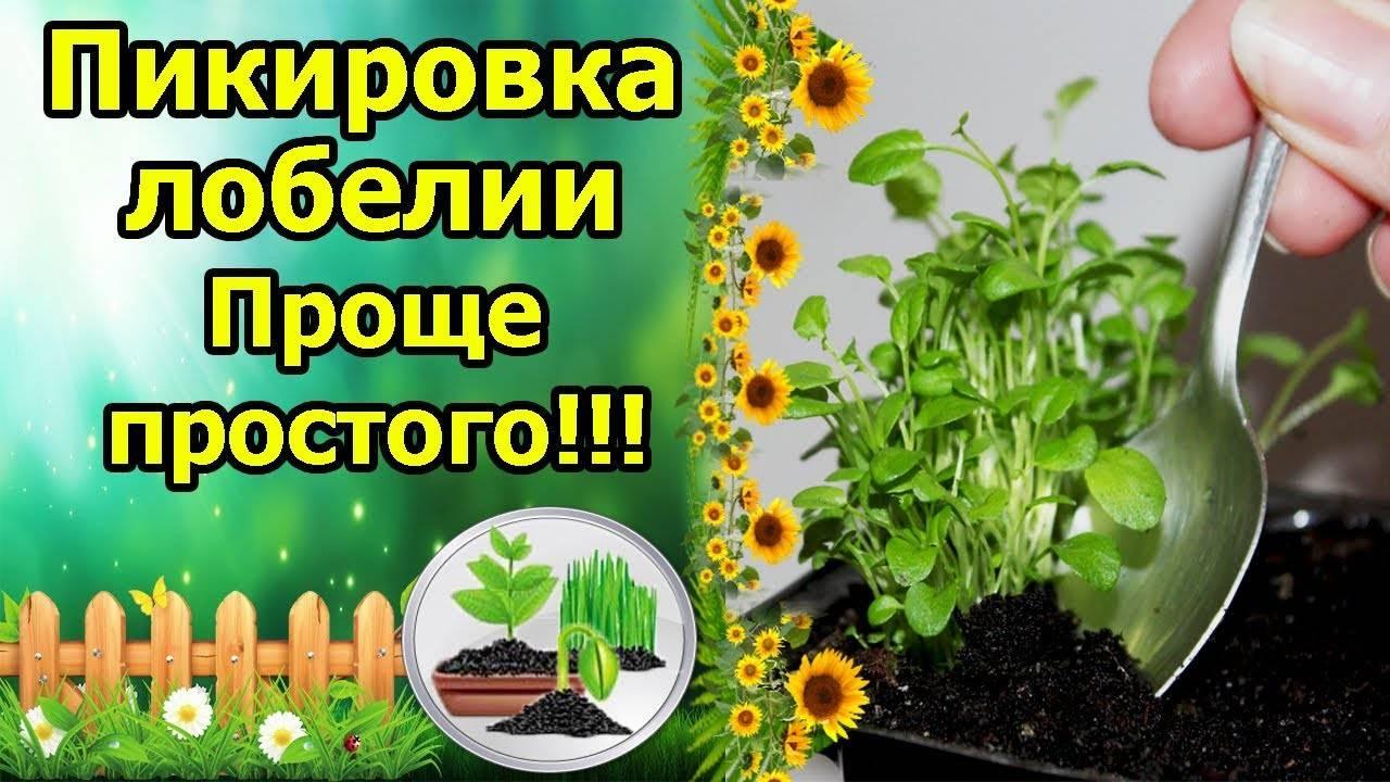 Выращивание лобелии, посадка и уход за лобелией