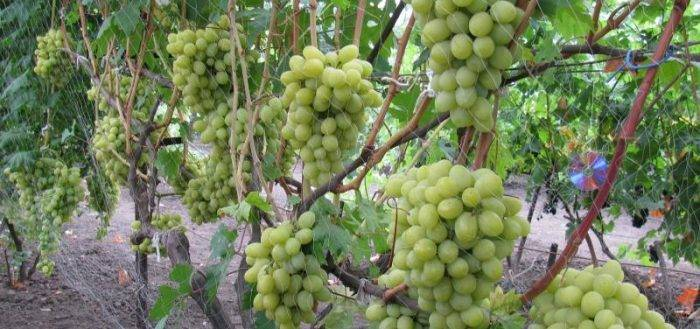 Виноград «анюта»: описание сорта, фото, отзывы