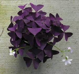 Комнатная фиолетовая кислица: уход в домашних условиях